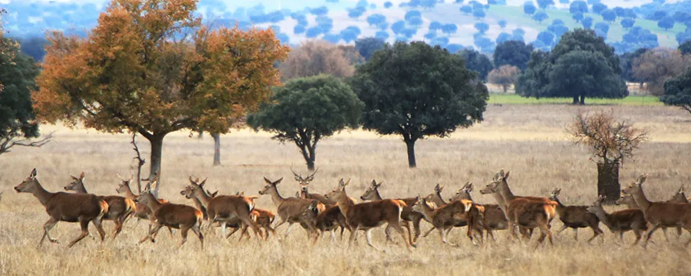 Ciervos - Parque Nacional de Cabañeros